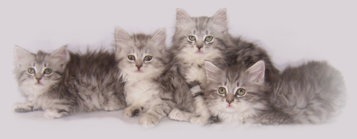 Siberian Cats And Kittens For Sale Hypoallergenic Ontario